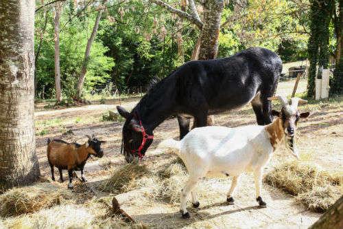 Chèvre au Domaine de L'Ô - Périgord